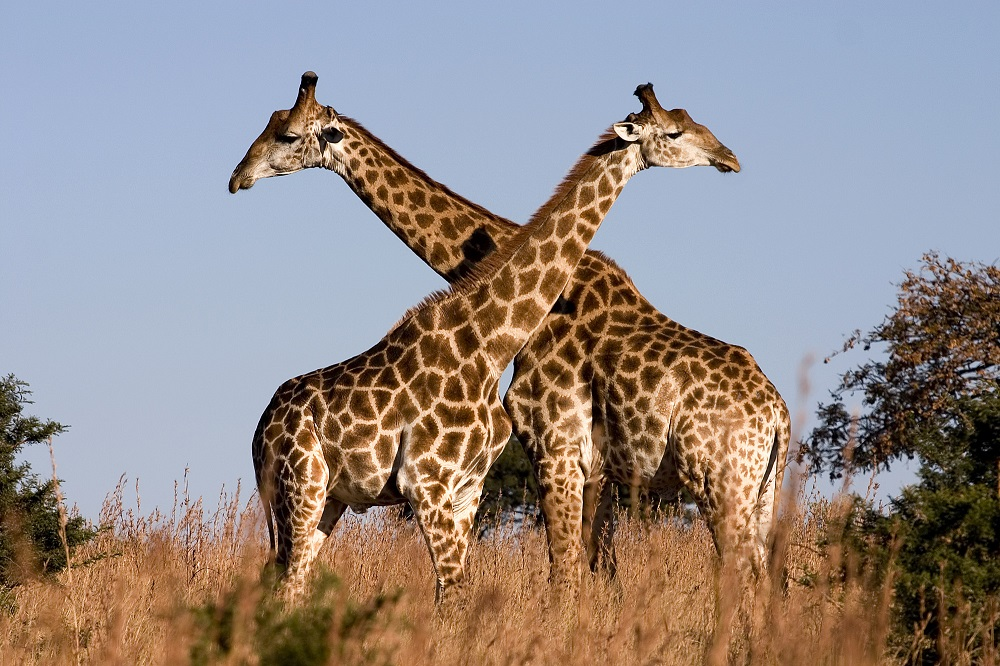 Giraffe profile pictures